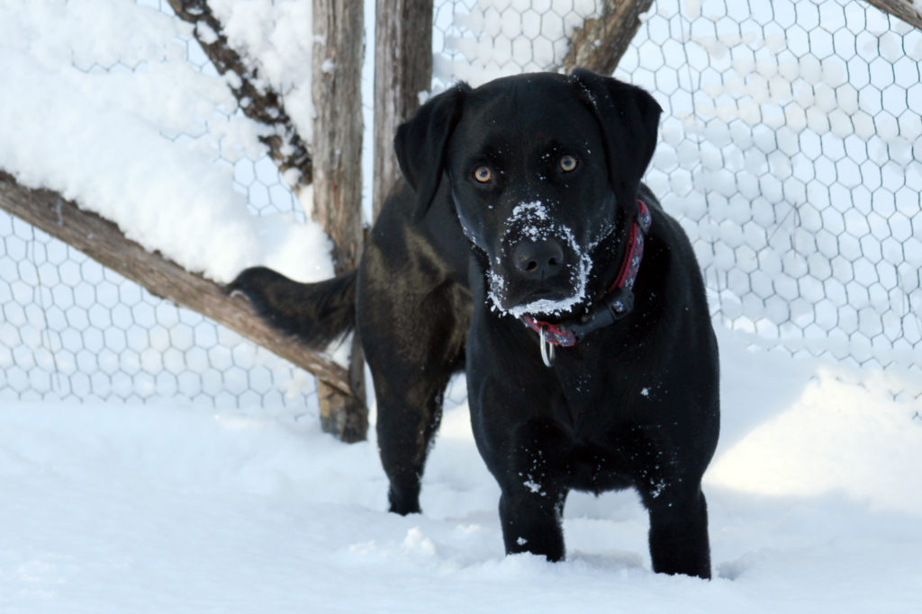 Whitby Bell is Barbara Bell's 2 year old lab, Whitby Bell.