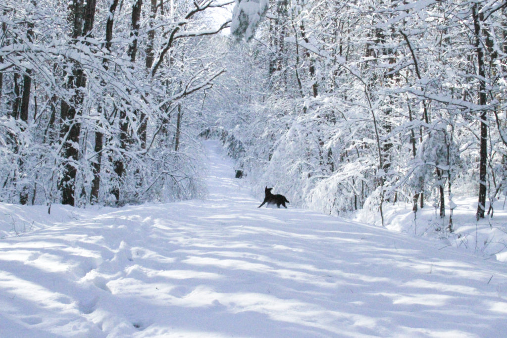 This black lab loves the snow!