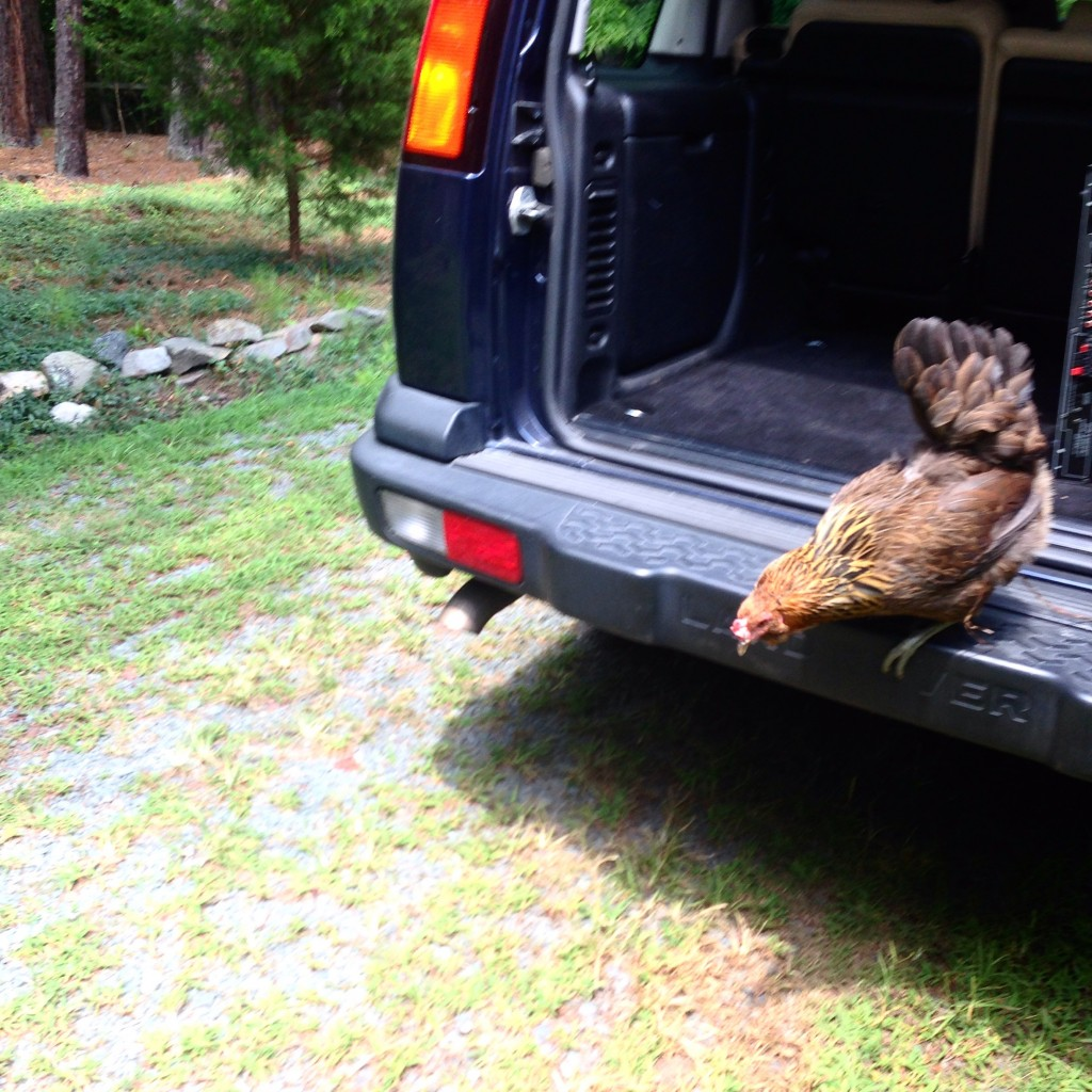 Madcap adventures abound when your chicken hops into the back of your car.