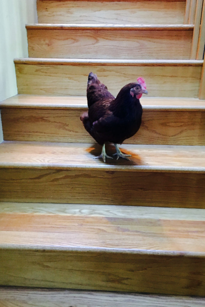 Chicken in the house!